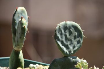 2 cactussen